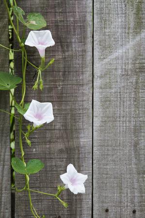 White Rose Vine Background
