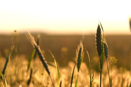 Sunrise over wheat field Zdjęcie Seryjne - 8575183