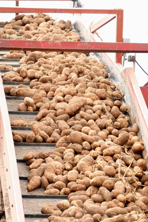 Conveyor Belt Full of Potatoes