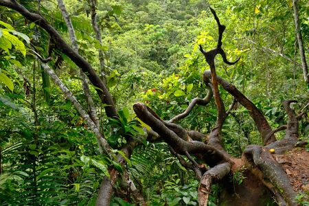 Dense forest inside the jungle with a view of a dry trunk. Chanchamayo, Peru