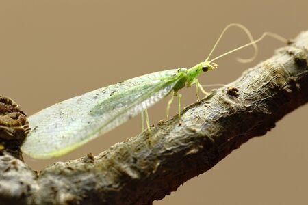 Green leafhopper on bush branch Foto de archivo