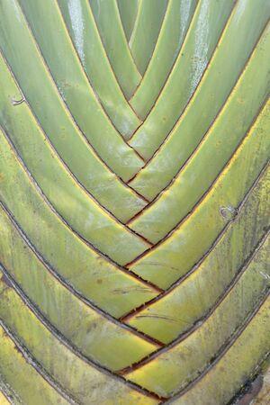 Detalle de palmera viajero (Ravenala madagascariensis)