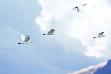 Group of four cattle egrets (Bubulcus ibis) flying over the mountain sky.