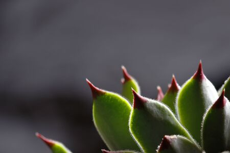 Details of the leaves of the ornamental plant called the evergreen (sempervivum calcareum)