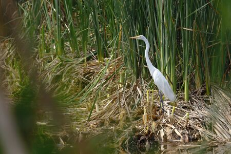 Great egret (Phalacrocorax brasilianus) registered at the edge of a wetland among the vegetation of reeds released 版權商用圖片