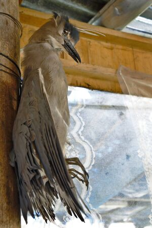Specimen of Heron huaco (Nycticorax nycticorax) dissected and used as an ornament in a tourist restaurant in Huagapo, Tarma