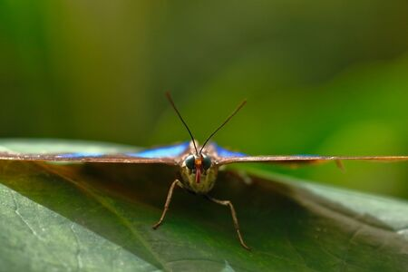 Specimen seen from front of blue morpho butterfly (Morpho menelaus) perched on leaf. Chanchamayo, Peru Stock Photo