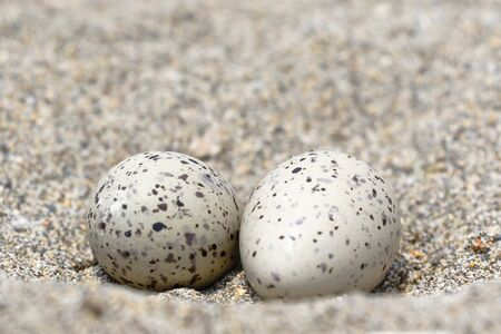 Nest with eggs of American oystercatcher (Haematopus palliatus) found on the sand