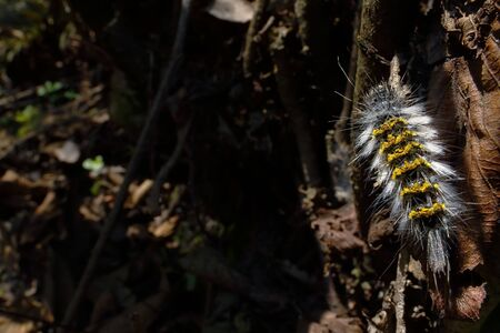 Small stinging caterpillar perched on a leaf in an Andean forest