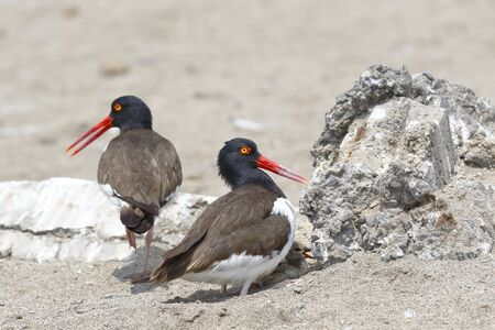 Active nest with pigeon of American oystercatcher (Haematopus palliatus) found on the beach with their parents