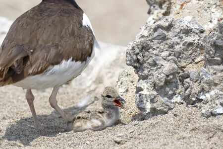 Active nest with pigeon of American oystercatcher (Haematopus palliatus) found on the sand