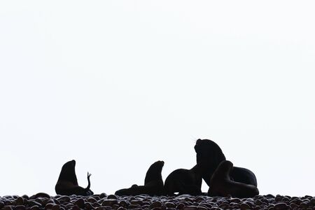 Silhouette of small colony of sea lions (Otaria flavescens) seen against the light on the shore of the Ballestas Islands in Paracas, Peru.