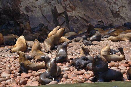 Wild colony of sea lions (Otaria flavescens) on the shore of the Ballestas Islands in Paracas, Peru. 版權商用圖片 - 134868157
