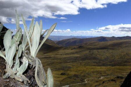 Andean plant called Wila wila (Senecio canescens) registered in its natural environment on the edge of a cliff. 版權商用圖片