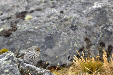Beautiful specimen of plumbeous sierra-finch (Phrygilus unicolor) female, perched on a rock in its natural environment. Huancayo - Peru.