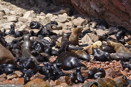 Wild colony of sea lions (Otaria flavescens) on the shore of the Ballestas Islands in Paracas, Peru.