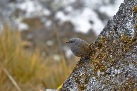 Beautiful copy of Tapaculos (Scytalopus sp.) (Millpo form not described) perched on a rock in its natural environment. Huancayo - Peru.