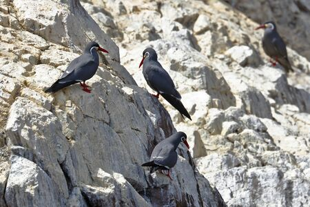 Group of Inca tern (Larosterna inca) perched in freedom on a rocky boulder of the Ballestas Islands in Paracas, Peru.