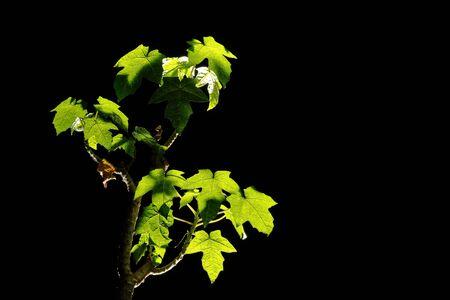 Papaya tree bonsai backlit on black background 版權商用圖片