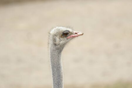 Common ostrich (Struthio camelus), head detail of an adult specimen in captivity.