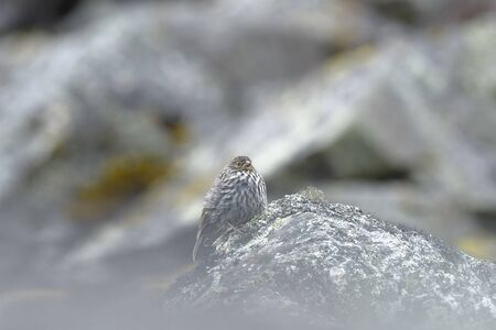 Small bird called Flamed Canastero (Asthenes flammulata) perched on a rock in the cold Andean heights. Jun?n - Peru