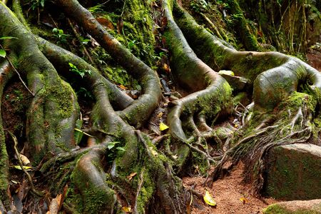 Tree roots inside the deep jungle. Chanchamayo, Peru