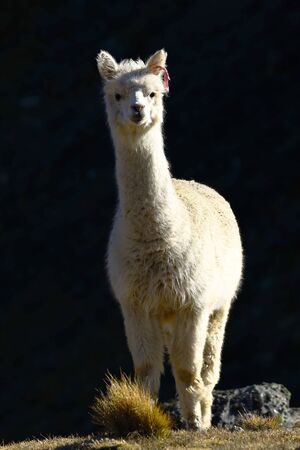 Lonely Alpaca (vicugna pacos) recorded at dawn on the slopes of a hill while feeding. Imagens