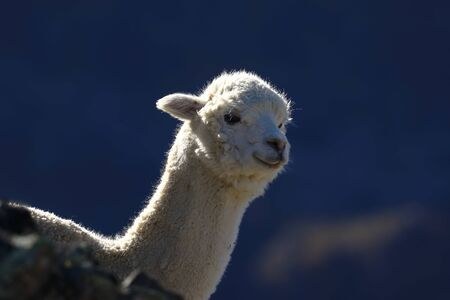 Lonely Alpaca (vicugna pacos) recorded at dawn on the slopes of a hill while feeding.