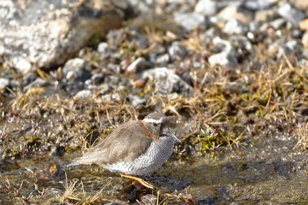 Diademed Sandpiper-Plover (Phegornis mitchellii) sighted in its natural environment at 4000 masl walking on a small stream.