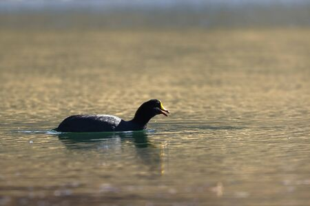 Giant coot (Fulica gigantea) sighted in its natural environment at 4000 masl in an Andean lagoon while swimming calmly.
