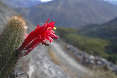 Cactus (Cleistocactus acanthurus), beautiful red bloom of this endemic cactus species from Peru, only lasts a few days before wilting. Lima Peru Banco de Imagens