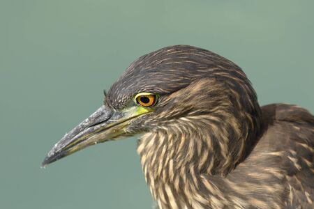 STRIATED HERON (Butorides striata), detail of a egret's head while fishing by the lake. Lima Peru