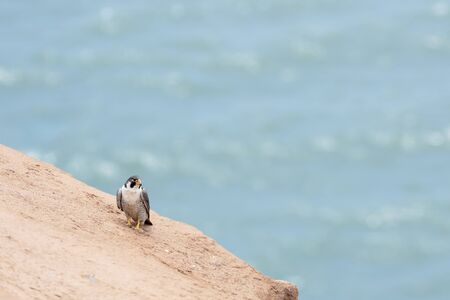 PEREGRINE FALCON (Falco peregrinus), beautiful hawk perched on a cliff by the sea. Ica - Peru Banco de Imagens