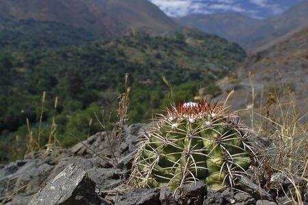 Cactus (Melocactus peruvianus), a unique specimen of cactus that grows flush with the natural soil of the Andes. Lima Peru