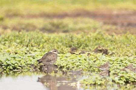 AMERICAN GOLDEN-PLOVER (Pluvialis dominica), a beautiful shorebird in its natural habitat perched on the banks of the wetland. Lima Peru