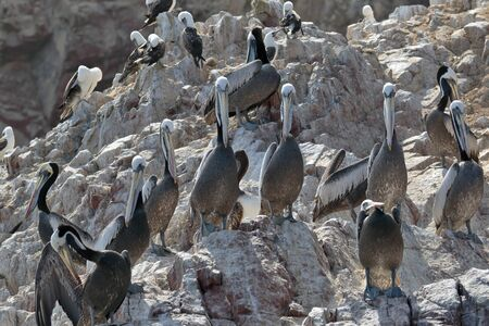 PERUVIAN PELICAN (Pelecanus thagus), pelicans perched on rocks in the Ballestas Islands, in Paracas. Lima Peru