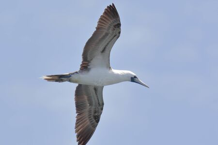 Peruvian booby (Sula variegata), boob in flight flying across the sky over the Ballestas Islands, in Paracas. Ica - Peru