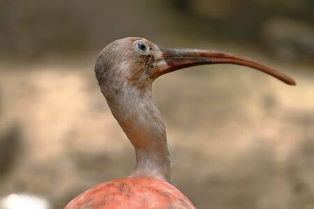 Scarlet ibis (Eudocimus ruber), portrait of a beautiful pink ibis showing a fixed gaze. Lima Peru Banco de Imagens