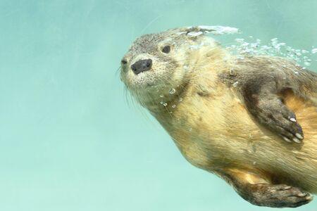 Marine Otter (Lontra Felina), ein schöner Seeotter unter Wasser im Flug, Fotografie in Gefangenschaft. Lima, Peru
