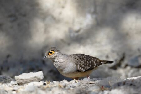 BARE-FACED GROUND-DOVE (Metriopelia ceciliae), a unique species of pigeon walking on the ground in its natural environment looking for food. Lima Peru