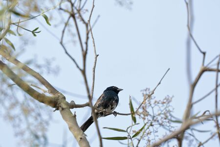 Blue-black grassquit (Volatinia jacarina), portrait in detail of an individual in their natural habitat perched on a branch of vegetation. Lima - Perú