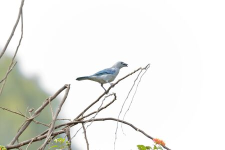 Blue-gray tanager (Thraupis episcopus), beautiful specimen perched on the branches of a tree. Lima - Peru