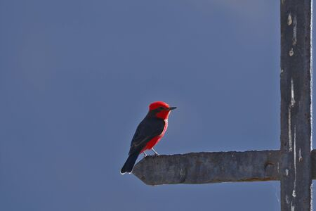Vermilion flycatcher (Pyrocephalus rubinus), beautiful male turtupilin of intense red color, perched on a cross. Lima-Peru