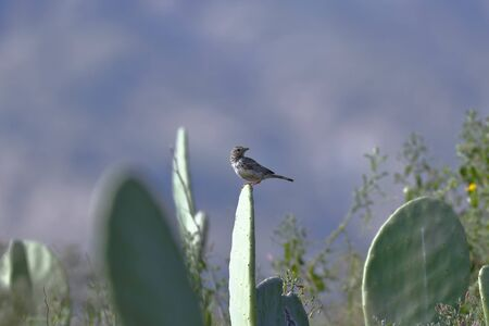 MOURNING SIERRA-FINCH (Rhopospina fruticeti), beautiful specimen perched on cactus at dawn in search of food. Lima Peru