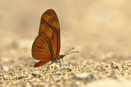 butterfly (Dryas julia) on soil moisture