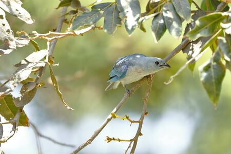 Blue-gray tanager (Thraupis episcopus), beautiful specimen perched on the branches of a tree.