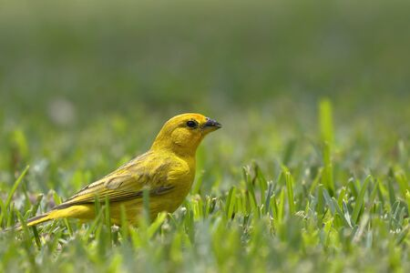 Saffron finch (Sicalis flaveola) looking for its food on the lawn