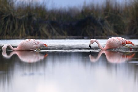 Pair of Chilean Flamingos (Phoenicopterus chilensis) walking on the lake feeding Banque d'images