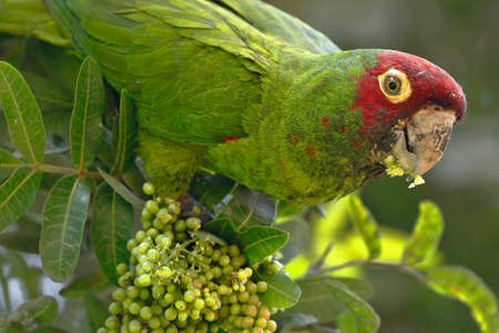 Red-masked parakeet (Psittacara erythrogenys), individual perched on the branches while feeding Imagens