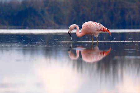 Chilean flamingo (Phoenicopterus chilensis) perched on feeding lake